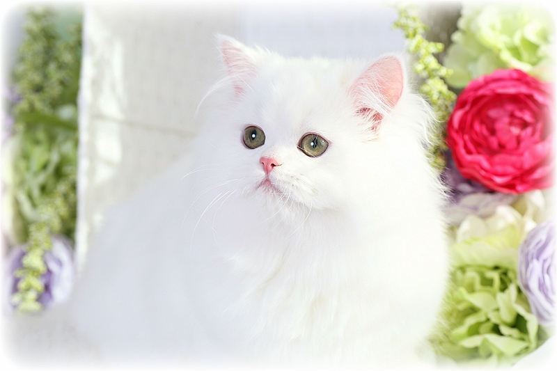 Solid what persian kitten for sale