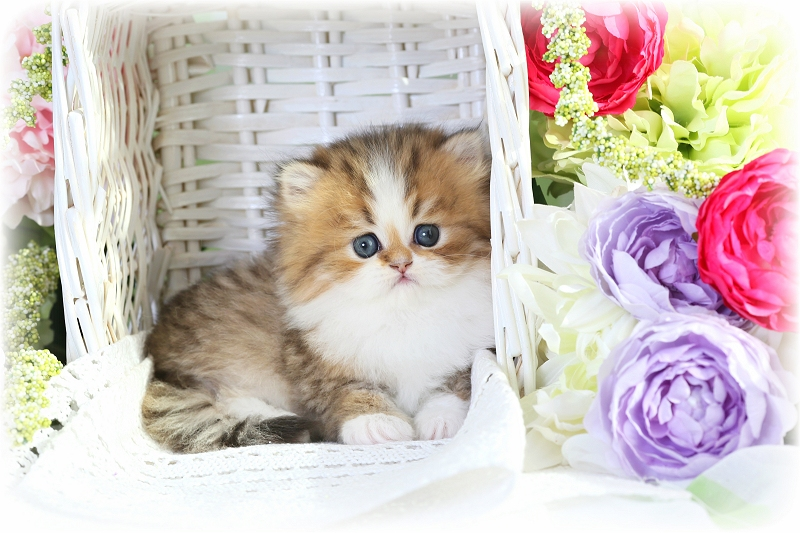 Shaded Golden and white Teacup Persian Kitten