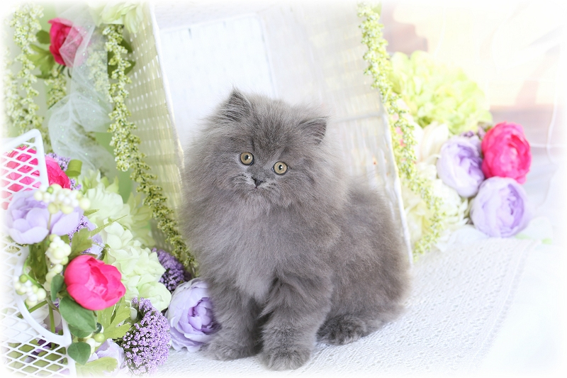 Solid Blue Persian Kitten