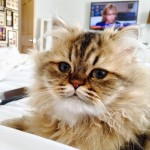 Doll Face Persian Kittens Reviews – Wendi