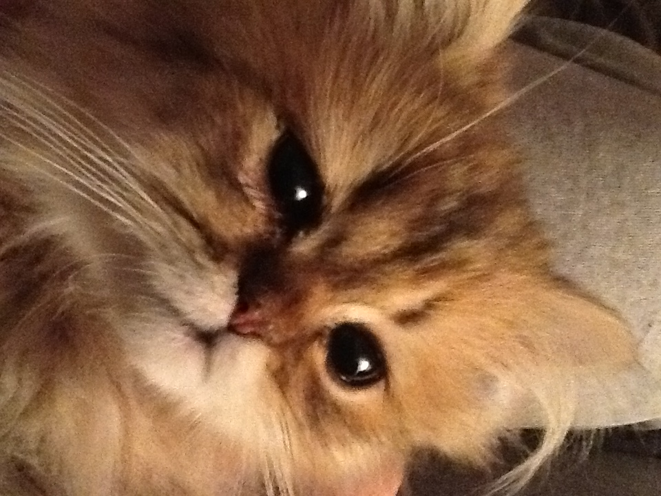 Doll Face Persian Kittens Reviews - Cretella Family