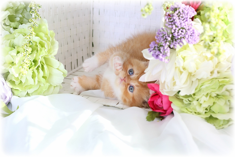 Doll Face Persian Kittens Red and White Bicolor Persian Kitten