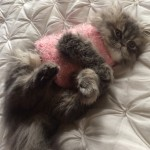 Doll Face Persian Kittens Reviews – The Medley Family