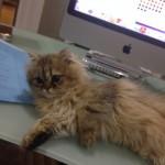 Doll Face Persian Kittens Reviews – The Cardinali Family