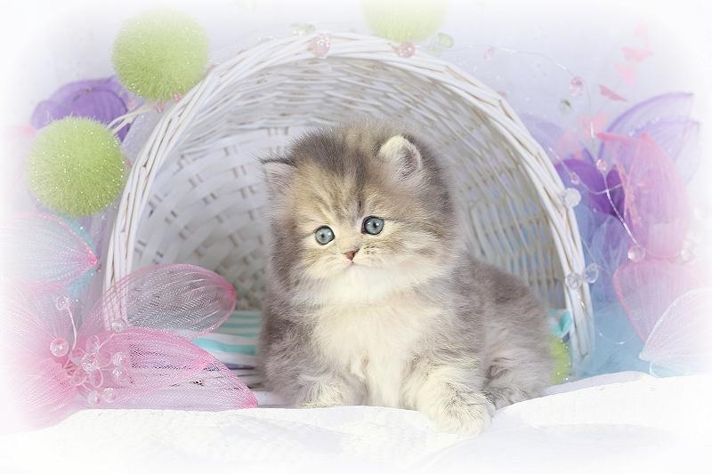 Blue Golden Persian