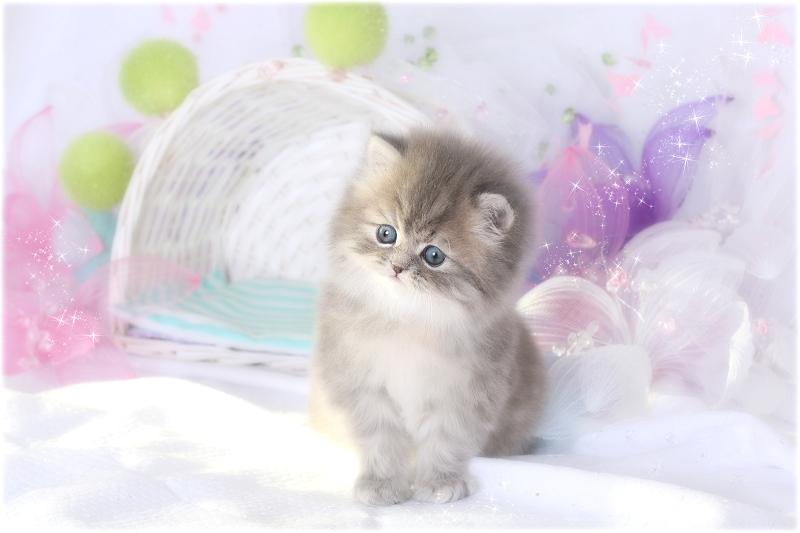 Blue Golden Persian Kitten