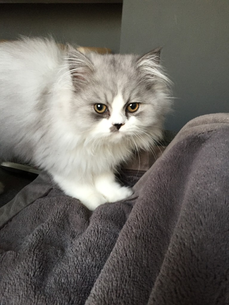 Doll Face Persian Kittens Reviews - Emily & Pete