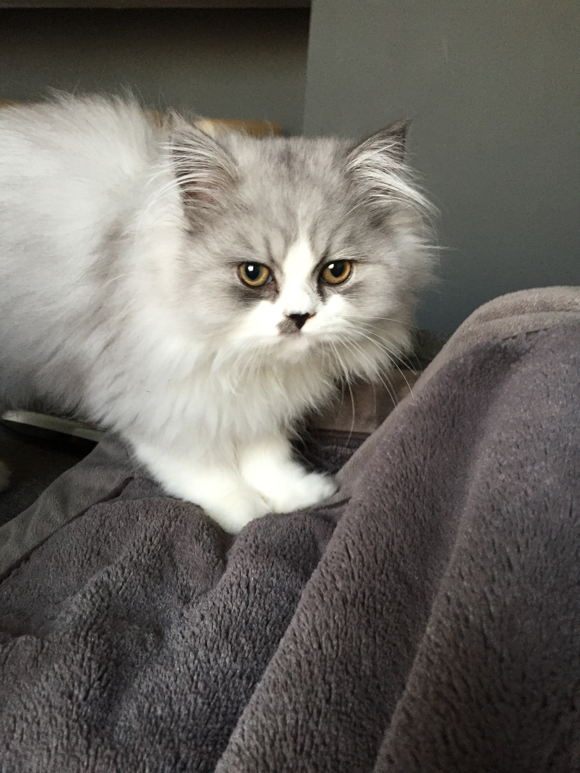Chinchilla For Sale >> Doll Face Persian Kittens Reviews - Emily & Pete ReviewPre ...