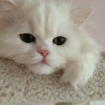 Doll Face Persian Kittens Reviews – The Kovacic Family
