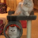 Doll Face Persian Kittens Reviews – The Zimmerman Family