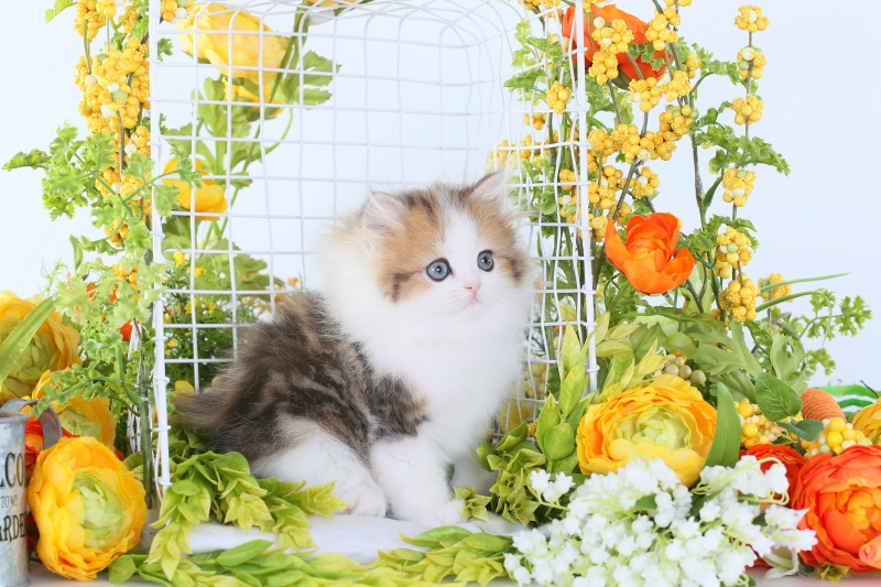 Golden & White Bi-Color Persian Kitten