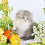 Tabby & White Persian Kitten