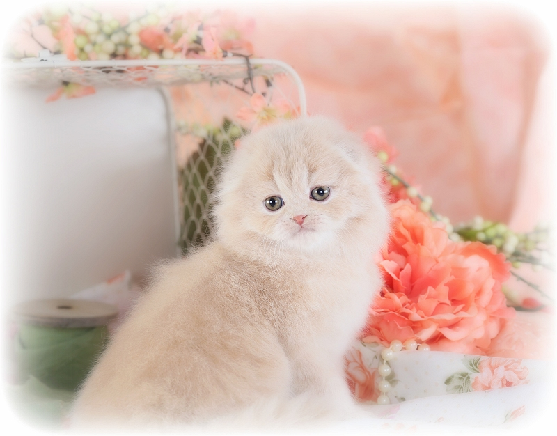 Persian Fold Kitten from Doll Face Persian Kittens