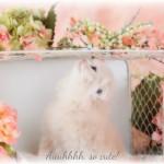Persian Fold Kitten for Sale