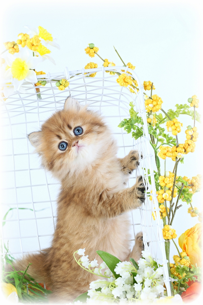 Golden Chinchilla Persian - Doll Face Persian Kittens Reviews