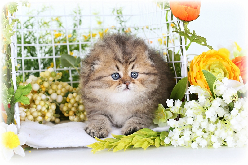 Persian Fold Kitten from Doll Face Persian Kittens Cattery