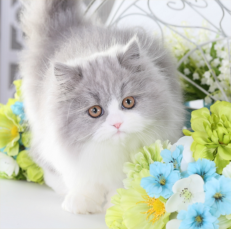 Lilac & White Bi-Color Persian Kitten