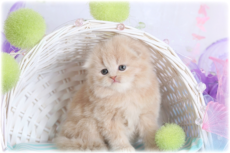 Cream Persian Fold Kitten