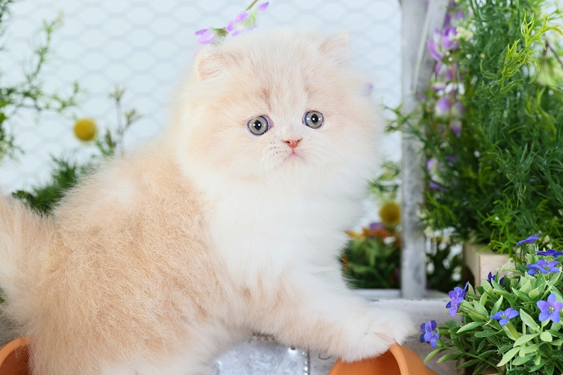 Cream & White Bicolor Persian Kitten