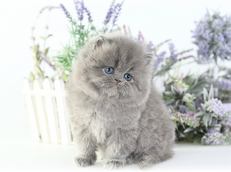 Blue Persian Kittens Photo Gallerypre Loved Persian