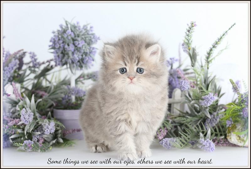 Lilac Tabby Persian Kitten