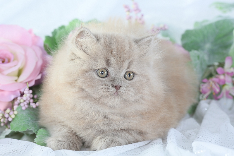 Lilac Persian Kitten - Doll Face Persian Kittens