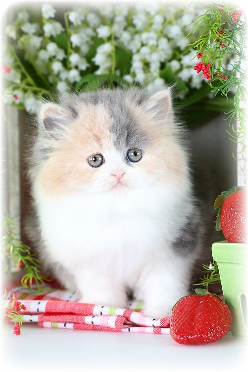 Dilute Calico Persian Kittens