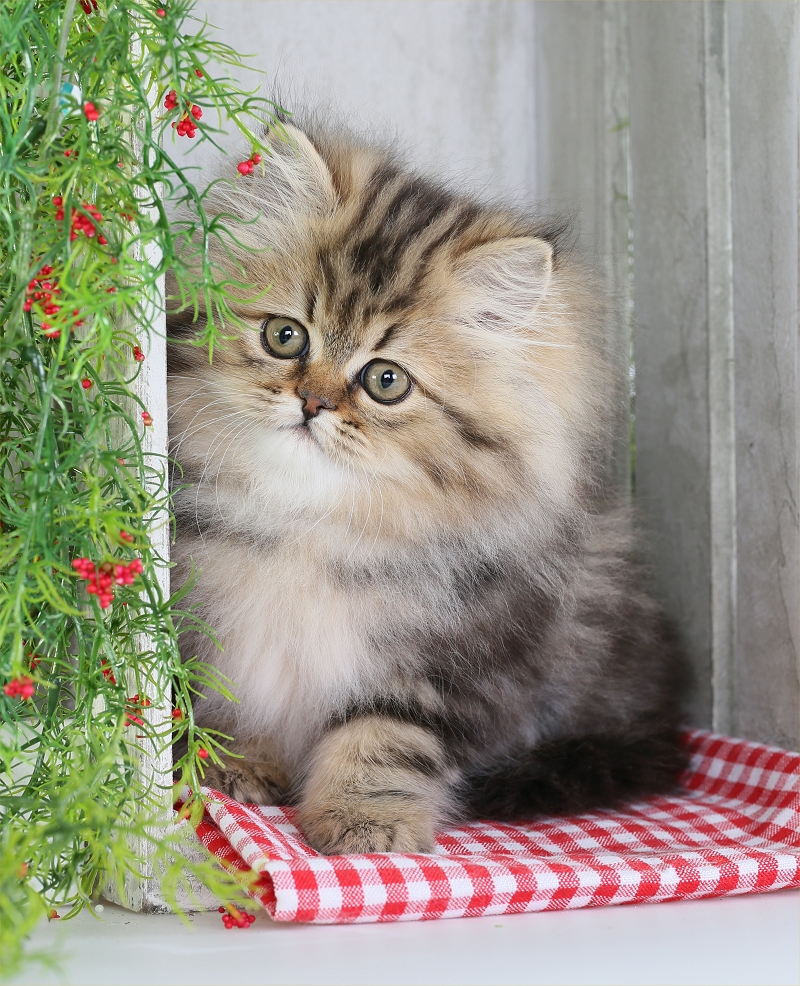 Shaded Golden Persian