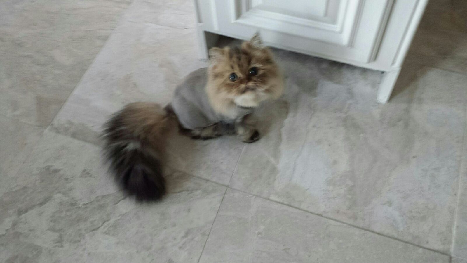 Doll Face Persian Kittens Reviews - Figer Family