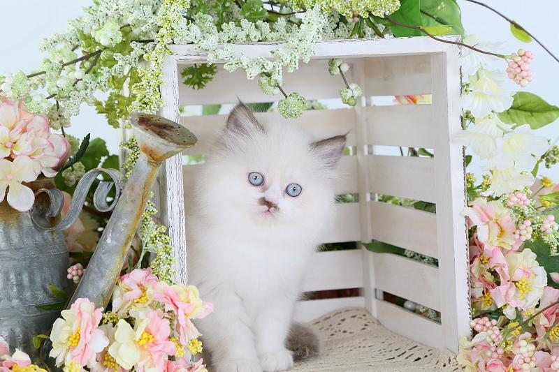 Chocolate Bi-Color Point Himalayan Kitten