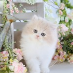 Cream & White Bi-Color Persian Kitten