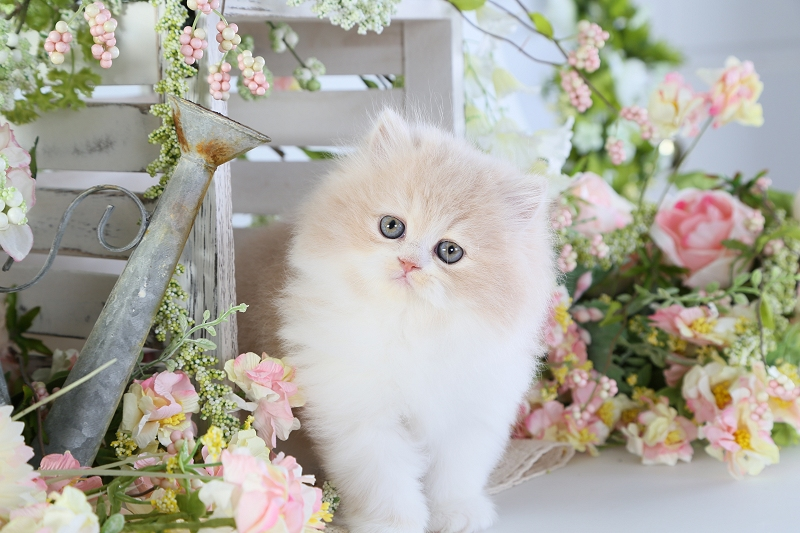Cream & White Bi-Color Persian Kitten