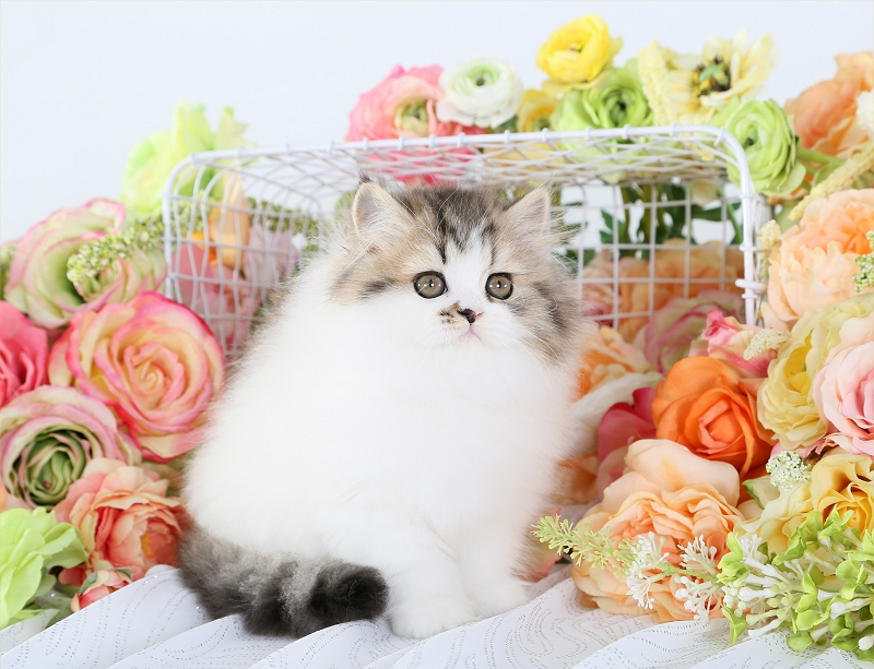 Golden Tabby & White Patchwork Persian Kitten