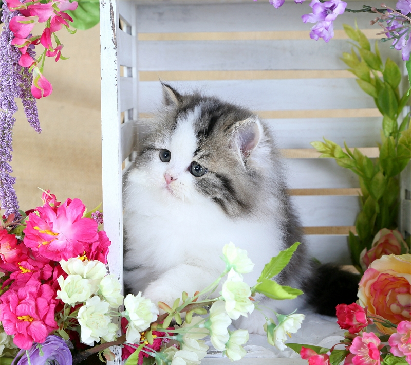Tabby & White Persian Kitten