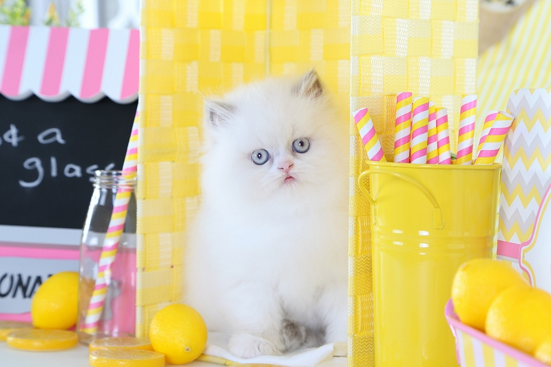Lilac Point Himalayan Kitten