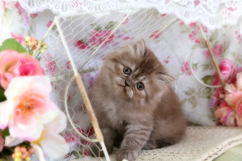 Chocolate Smoke Persian Kitten