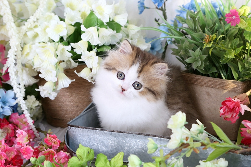 Golden Chinchilla & White Persian Kitten