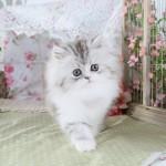 Silver Tabby Smoke & White Persian Kitten