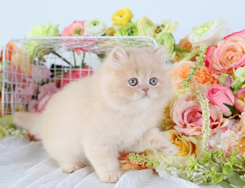 Cream Persian Kitten For Sale