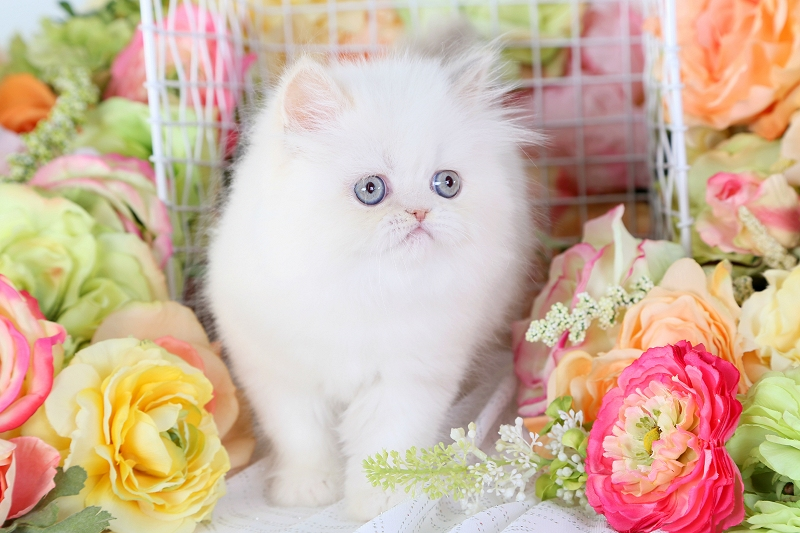 Lilac Cream Point Himalayan Kitten