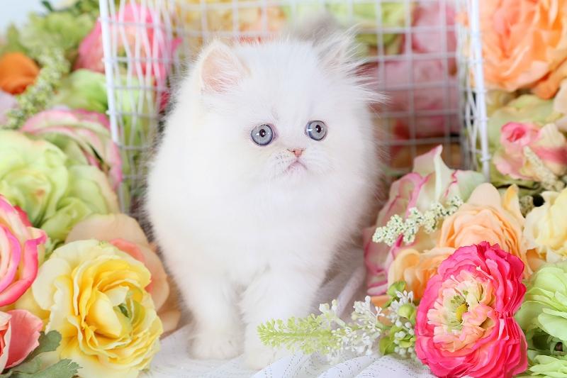 Lilac Cream Point Himalayan Kitten