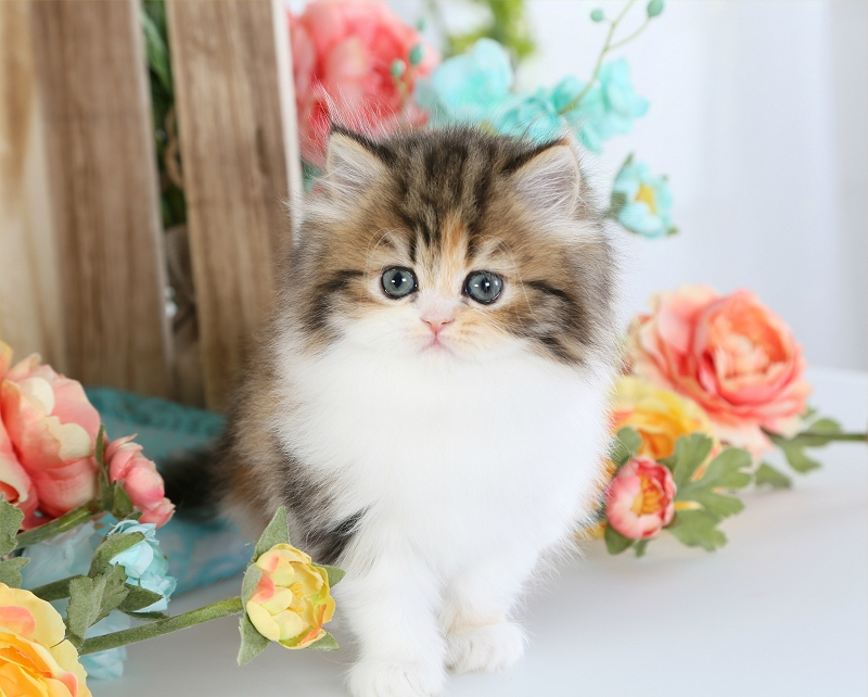 High White Calico Tabby Persian Kitten