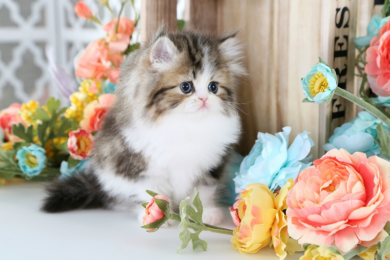 Shaded Golden Tabby & White Persian Kitten
