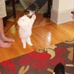 Doll Face Persian Kittens Reviews- The Doyle Family