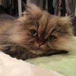 Doll Face Persian Kittens Reviews – Brooke