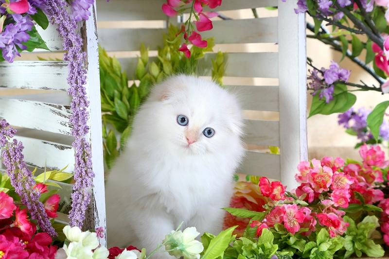 Flame Point Floppy Eared Persian Kitten