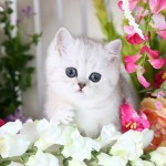 Silver Exotic Shorthair Persian Kitten