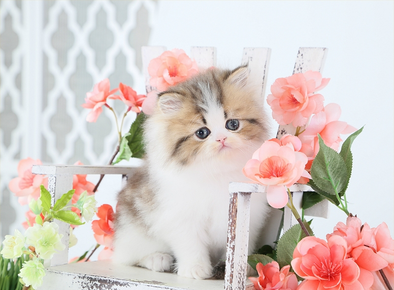 Internet Safety - Buying a Persian or Himalayan Kitten