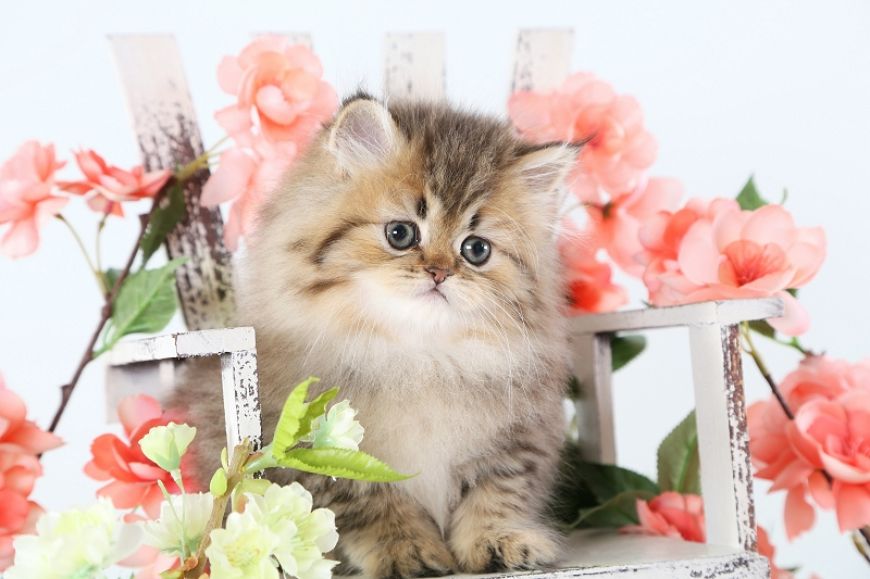 Golden Chinchilla Persian Kitten