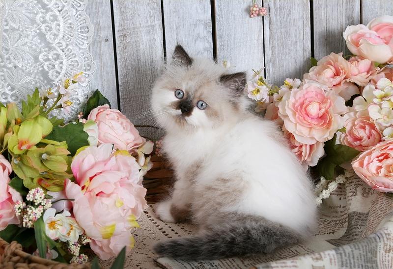Seal Bi-Color Point Himalayan Kitten